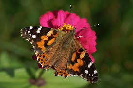 uncovering the mystery of colorado s butterfly populations