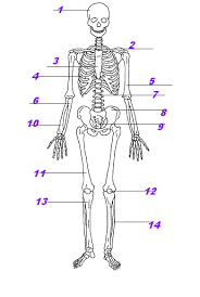 Anatomy And Physiology Muscle Labeling Exercises Muscle And Bones Test Proprofs Quiz