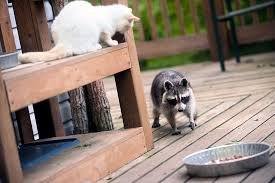 pet points be wary of raccoons and the diseases they spread
