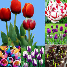 tulip seeds ebay
