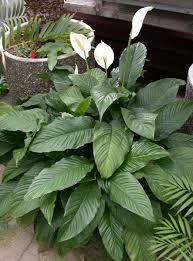 peace lily peace lily u0027mauna loa u0027 spathiphyllum buy it now