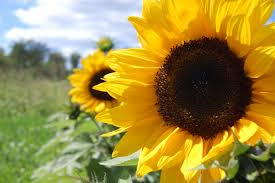 the happiest of flowers sunflowers how ornament my