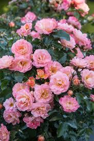 drift roses drift monrovia drift