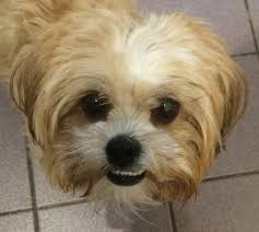 shichon zuchon bichon frise shih tzu teddy bear delightful dogs
