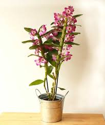 orchid plant send spray orchid as a plant gift we deliver in uk by post and