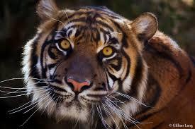 sumatran tiger gives birth to triplets at oklahoma city zoo