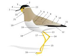 Male External Anatomy Bird Anatomy Wikipedia