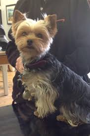 156 best hunde frisure images on pinterest yorkies animals and