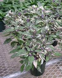 calico pepper plant