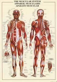 Anatomy Of Human Body Organs Free Diagrams Human Body Human Anatomy Is The Study Of Structure