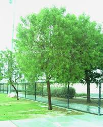 great medium sized trees for las vegas gardening on mars