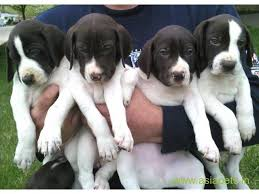american pitbull terrier in bangalore pitbull puppy for sale in bangalore best price online pet store