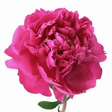 peonies flower flower hot pink june delivery