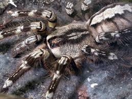 poecilotheria ornata stock image image of fringed animal 746919