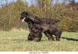 afghan hound racing uk afghan hound running stock photos u0026 afghan hound running stock