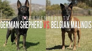 belgian shepherd size the belgian malinois vs the german shepherd elite working dogs