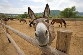 feed or foes livestock can be trained to eat the nuisance plants facts about donkeys