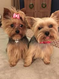 yorkshire terrier haircuts pictures pin by the dogs on yorkshire terrier pinterest yorkies