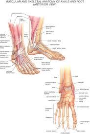 Human Anatomy Skeleton Diagram Human Muscle And Ligament Anatomy Human Anatomy Charts