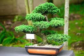 banzai tree 3 x bonsai trees bare roots best offer bonsai tree