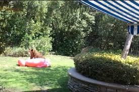 bear cub battles inflatable flamingo in adorable backyard video