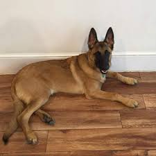 belgian shepherd eye problems the canine corner 22 reviews pet sitting 303 court st