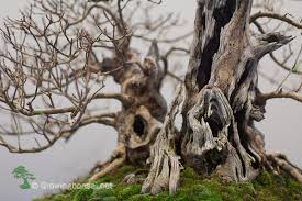 why trunks grow thick growing bonsai your guide towards