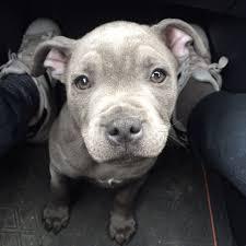 2 month old american pitbull terrier rico kc silver bluestaff my full blue staffordshire bull