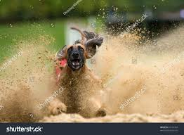 afghan hound dog images afghan hound at the dog race stock photo 67101784 shutterstock