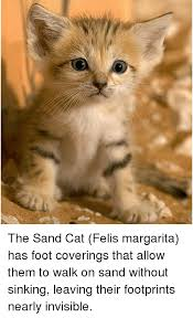 Invisible Cat Memes - the sand cat felis margarita has foot coverings that allow them to