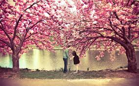 a cherry blossom tree photo one big photo