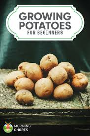 growing potatoes a beginner u0027s guide to planting big u0026 healthy