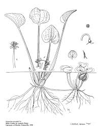 plant line drawings u2013 uf ifas center for aquatic and invasive plants