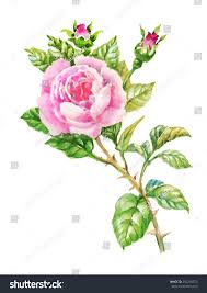 watercolor summer garden roses blooming flower stock illustration