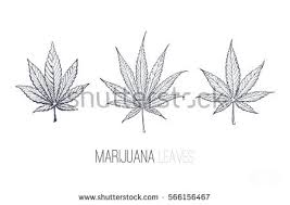 ink sketches marijuana leaves isolated vector stock vector