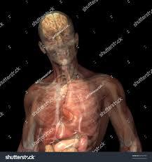 Male Internal Organs Anatomy Skeleton Xray Muscles Internal Organs Xray Stock Illustration