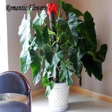 Indoor Vine Plants 100 Genuine Rare Philodendron Seeds Vine Leaf Indoor Plants
