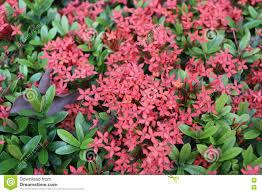 spike flower or red ixora flowers bloom on tree in the public ga