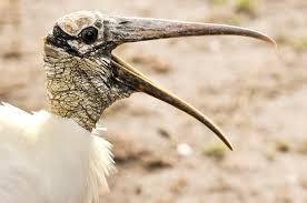 a bad climate for wood storks audubon