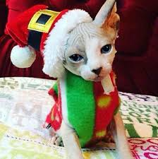 sphynx sweaters 600 best rex cornish sphynx co 6 images on baby