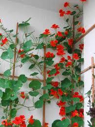 climbing nasturtium u0027scarlet munchkin u0027 u2013 higgledy garden