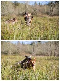 australian shepherd e cavalli breath taking arabian horse www forthelovepetphotography com dog