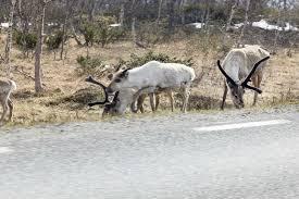 reindeer the local norway
