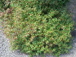 list of australian native plants exotic shrubs the trees u0026 flowers of whangarei