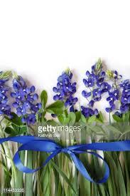 Bluebonnet Flowers - bluebonnet flowers in a row stock photo getty images