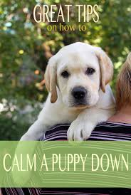 11 bluetick coonhound puppies in a bathtub how to calm an over excited puppy the labrador site