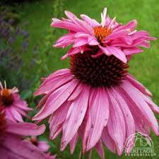 Echinacea Flower Plant Profile For Echinacea Purpurea Doubledecker Coneflower