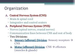 College Anatomy And Physiology Notes Anatomy U0026 Physiology Lecture Notes The Nervous System