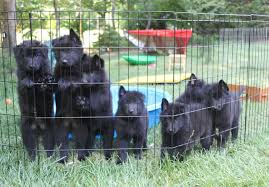 belgian shepherd ohio belgian sheepdog puppies for sale akc puppyfinder