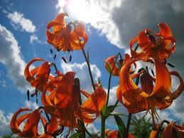 michigan native plant nursery lilium michiganense michigan lily u2013 natural communities native